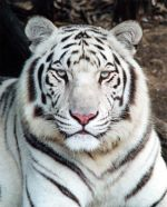 Fotografije malih i velikih mačaka - Page 3 Bijelitigar